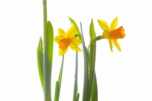 Jonquil flower growing from snow