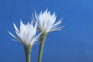 Echinopsis flowers