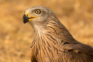 Close-up portrait of a Brown Kite