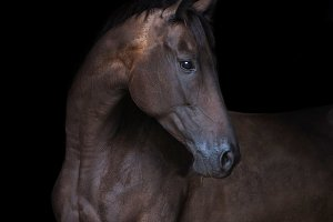 thoroughbred horse portrait on black