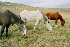 Three grazing horses of different co
