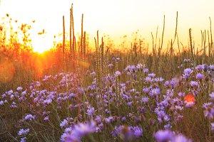 field flowers at sunset , autumn