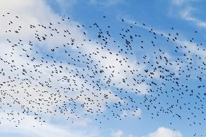flock of starlings on a beautiful