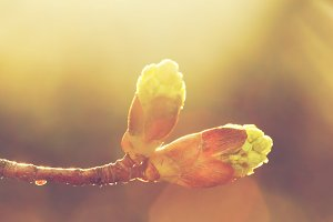 Blooming bud in morning light