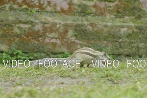 A chipmunk finding and eating on