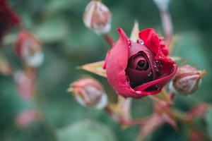 Red Rose with Dew 2