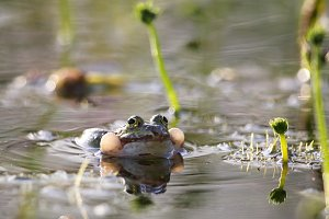 Edible frog (Pelophylax esculentus)
