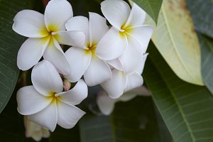 Close-Up Of Frangipani Blooming Outd