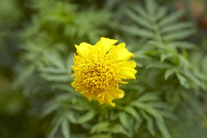 Close-Up Of Yellow Flower Blooming O