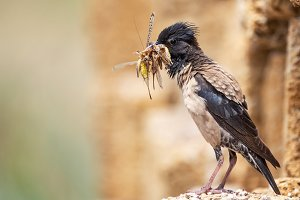 Rosy Starling with prey