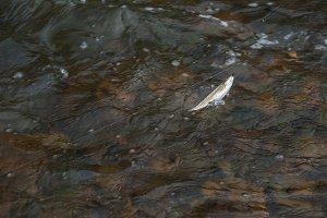 Caught grayling fish