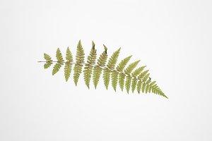 Fern leaf on light background