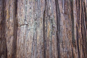Cedar Tree Texture