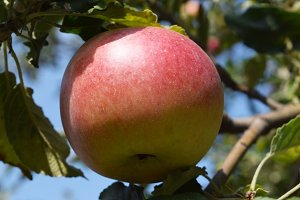 Mature juicy apples hanging on a