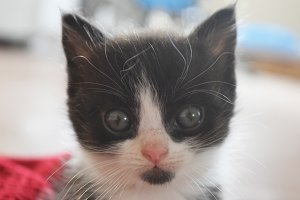 Cute furry black and white kitten