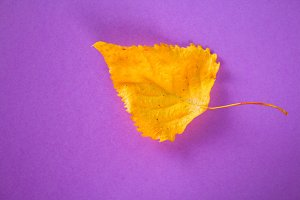 Yellow autumn leaf on a purple backg