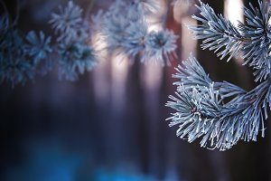 Christmas background. Frosty pine br