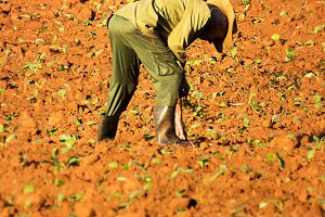 Farmer in the field with tobacco see