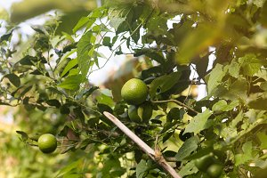 Lime citrus fruits growing on a tree