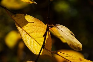 Yellow cherry leaves in shadow
