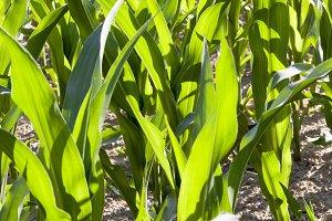 fresh green corn foliage