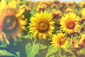 Field of sunflowers, sunflower close