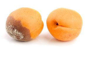 rotten apricot isolated on white