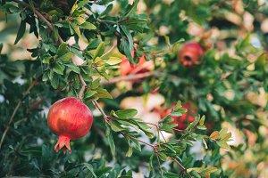 Organic pomegranate fruits on branch