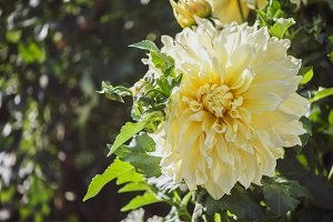 Flower yellow  Dahlia macro, space f