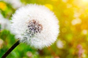Dandelion on green sunny meadow