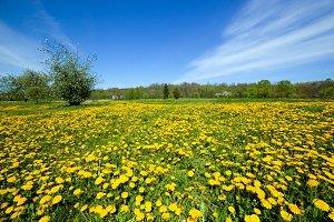 Spring meadow full of dandelions