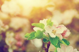 Spring tree flowers blossom. Vintage
