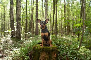 Dog,  terrier in the forest, licked.