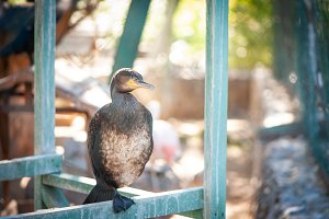 Great cormorant sits on a pole
