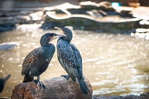 Two Great  cormorants sit on a tree,