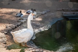 White, big and funny domestic goose