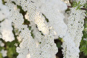 White spring flowers.