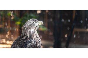 Portrait of a large gray eagle