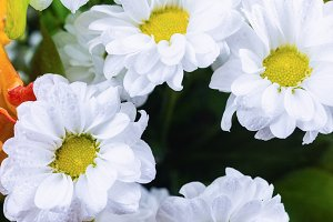 white chrysanthemums in green leaves