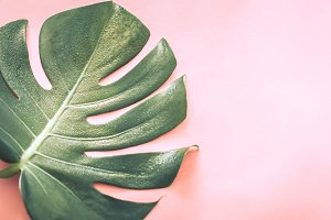 Big beautiful monstera leaf on pink