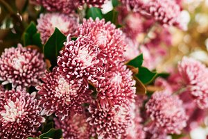 Pink Purple Chrysanthemum Flowers