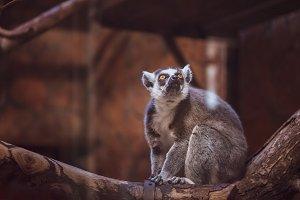 Lemur on wood, inspirational, toned