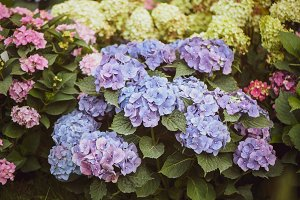 Flowers blue and pink hydrangeas in