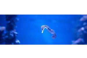 Seahorse, Hippocampus swimming