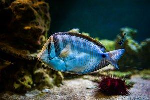 Zebrasoma desjardinii,  fish