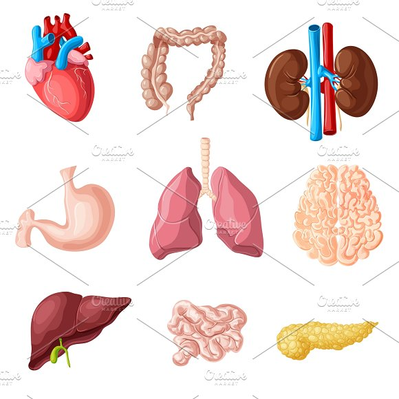 Cartoon Human Internal Organs Set Illustrations Creative Market