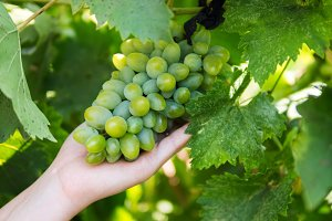 Bunch of green grapes in hand