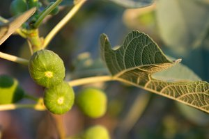 green Fig fruit
