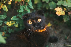 portrait of a black Scottish cat