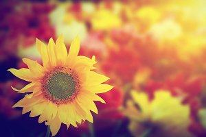 Sunflower in sunlight